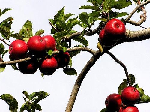 Bajka o jabłonce