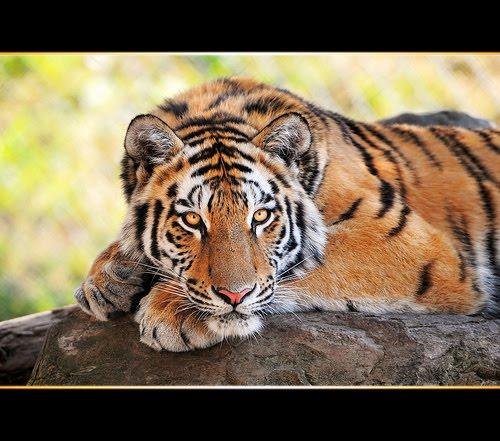Jesteś tygrysem czy owcą?